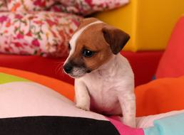 cute white and brown Puppy dog indoor