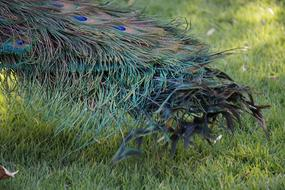 beautiful peacock tail on a green lawn background