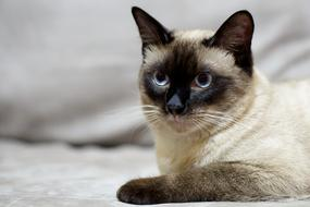 Siamese Cat looking straight