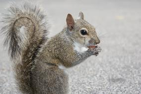 goodly Squirrel Nut