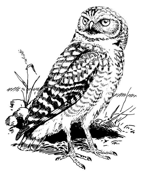 bird forest nature owl drawing