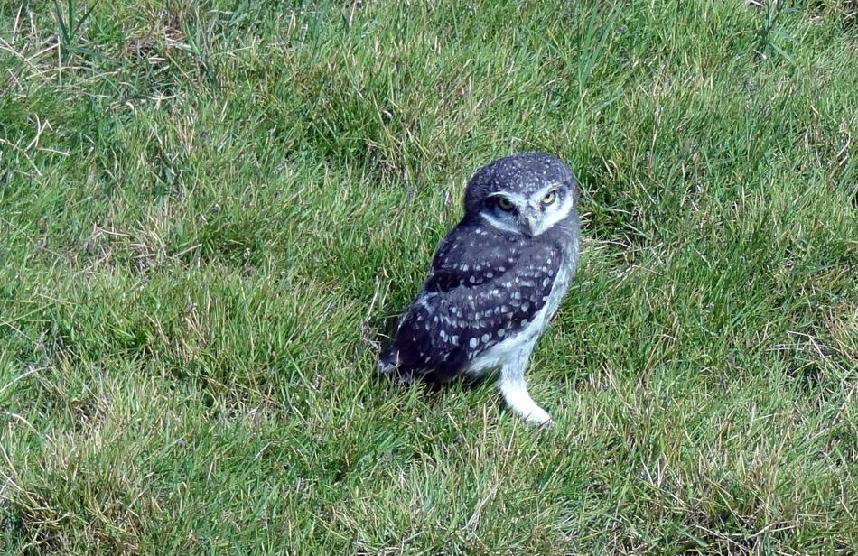 photo of spotted owlet on the grass in India