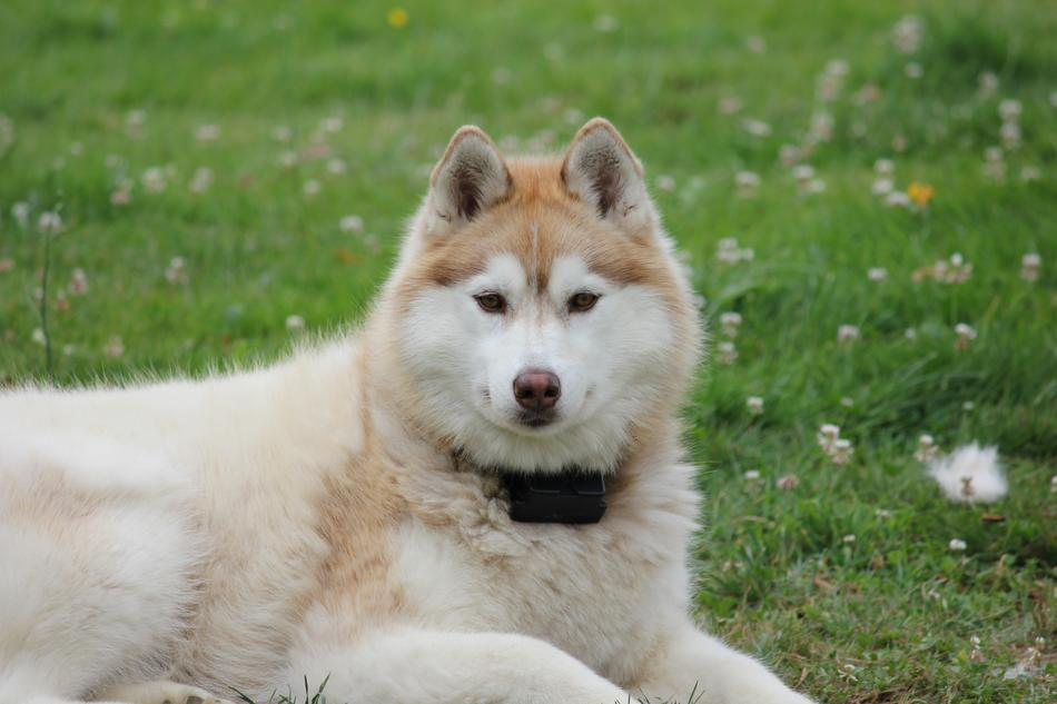 goodly Siberian Husky dog