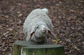 pretty Sheep Animal