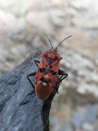 red-black beetle sits on a stone