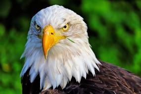 Portrait of the beautiful brown and white eagle with yellow beak in Holland