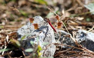 Dragonfly Red and Stone