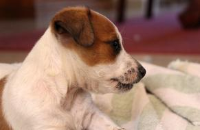 impressively beautiful Puppy Jack Russell