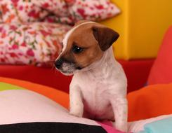pretty Puppy Jack Russell