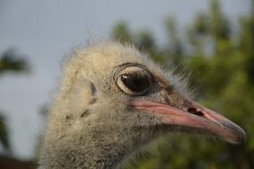 grey Ostrich Head close up, side view