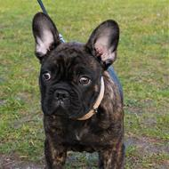 Dog French Bulldog black