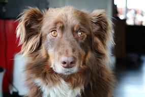 amazingly beautiful Dog Australian Shepherd