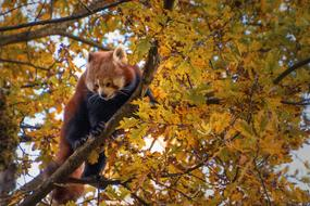 red panda sits on a branch of an autumn tree in a zoo in Zurich