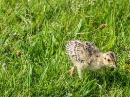 pheasant chick is running in a green meadow