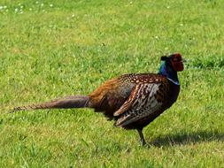 fabulous Pheasant Bird