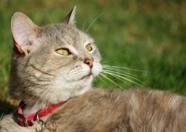 photo of a domestic cat with a red collar