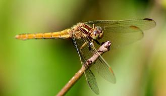 goodly Dragonfly Insect Macro