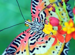 colorful cethosia cyane butterfly