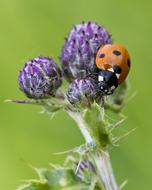 ladybug sitting on a purple thistle bud