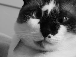 monochrome photo of a black and white cat