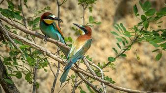 Beautiful and colorful European Bee-Eater, two Birds on tree with green leaves