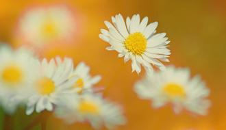 Texture Background Daisy