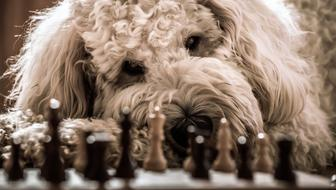 Dog Golden doodle and Chess