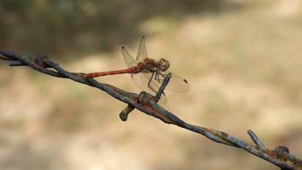 goodly red Dragonfly Insect