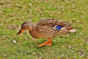 Mallard Brown green grass