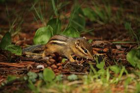 photo of a chipmunk at the forest edge