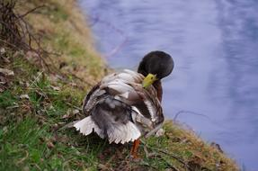beautiful duck cleans feathers on the shore of the pond