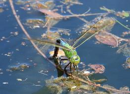 fabulous Dragonfly Water Pond