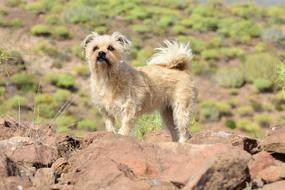 little beige terrier stands on a rock