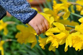 Hand of child at yellow Daffodils