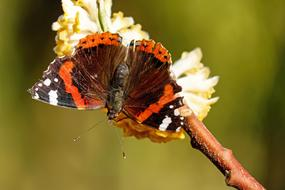amazingly beautiful Butterfly Admiral