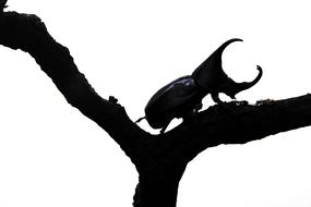 Beetle Background Rhinoceros black