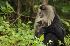 wild Lion Tailed Macaque, ghats, india