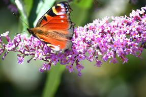 peacock Butterfly on flowers of summer lilac