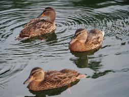 three brown ducks swim in the pond