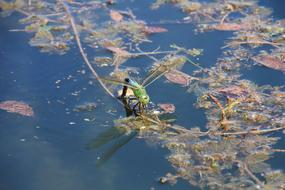 green dragonfly on the surface of the pond