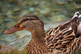 Mallard Brown Animal