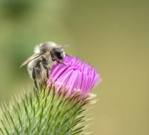 fabulous Bee and Thistle