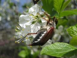 May beetle on a blossoming apple tree