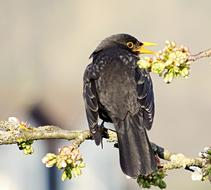 black bird sits on a flowering tree branch