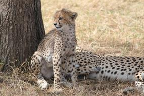 goodly Cheetah Africa Safari