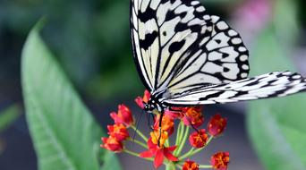 tropical black and white butterfly on a red flower