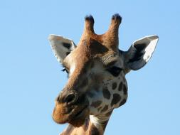 Giraffe face blue sky