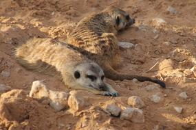 two meerkats are lying on the ground