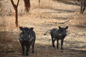 two black warthogs in a reserve in Africa
