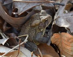 toad on dry autumn foliage